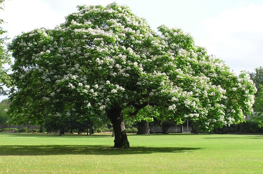 Дерево- человек